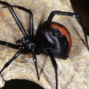 redback_spider